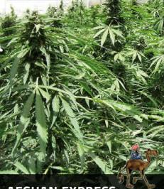 graine-de-cannabis-Afghan-Express-de-chez-Positronics