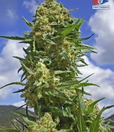 Graine de cannabis Black Widow de chez Positronics