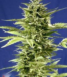Graine-de-cannabis-Jack-Diesel-Express-de-chez-Positronics