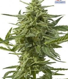 graine-de-cannabis-Nothern-Haze-Express-de-chez-Positronics