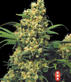 Graine de cannabis Warlock régulière de chez Serious Seeds