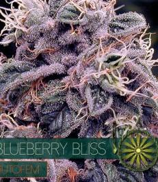 Graine-de-cannabis-Blueberry-Bliss-Autofem-de-chez-Vision-Seeds