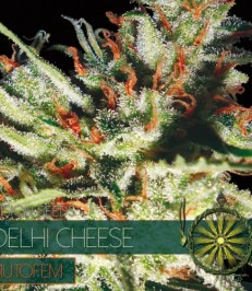 La graine de cannabis Delhi Cheese Autofem de chez Vision Seeds