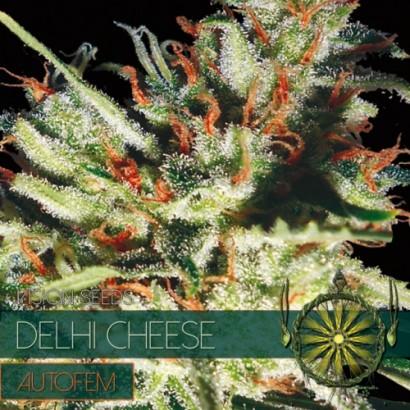 La graine de cannabis Delhi Cheese Autofem de chez Vision Seeds