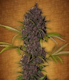 Graine-de-cannabis-LSD-25-de-chez-Fast-Buds
