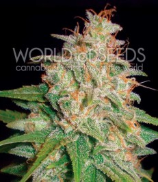 Graine de cannabis Mazar x White Rhino de chez World of Seeds