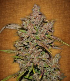 Graine-de-cannabis-Crystal-METH-de-chez-Fast-Buds