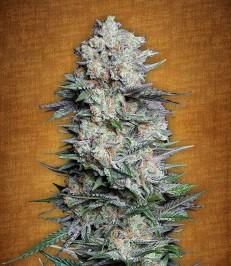Graine-de-cannabis-Mexican-Airlines-de-chez-Fast-Buds