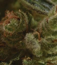 Graine de cannabis One To One de chez CBD Seeds