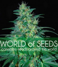 Graine de cannabis South African Kwazulu de chez World of Seeds