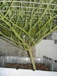 Cultiver-des-pieds-de-cannabis-Palisser-et-Tailler