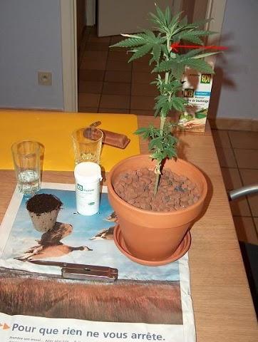 Cultiver-des-pieds-de-cannabis-Taille-Apex-Avant