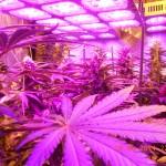 Pied de cannabis : les réponses à toutes vos questions sont ICI !!