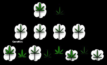 Cultiver-des-pieds-de-cannabis-hybridation