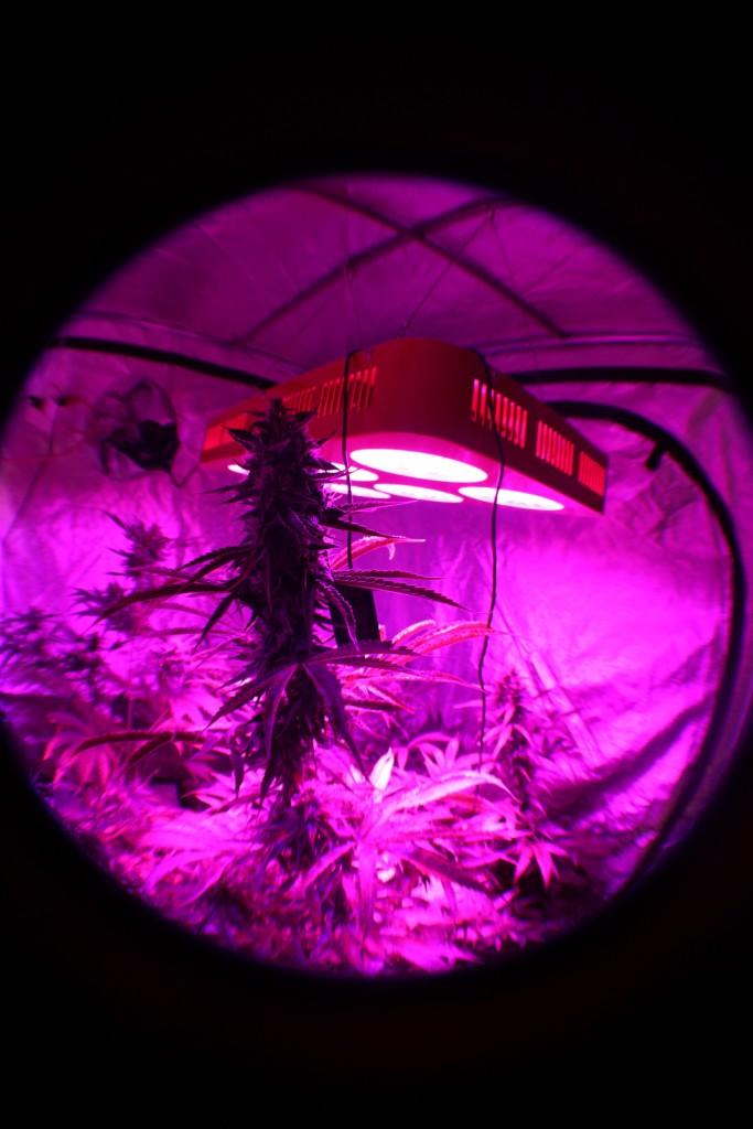 Cultiver-des-pieds-de-cannabis-plante-proche-lampe-LED