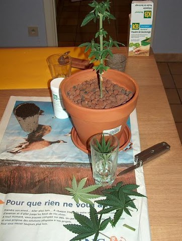 Cultiver-des-pieds-de-cannabis-taille-Apex-Pendant