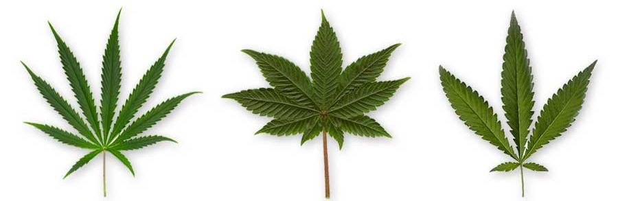 Feuilles-de-cannabis-Sativa-Indica-Ruderalis
