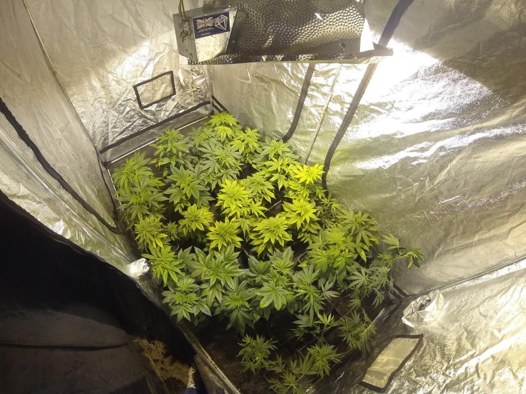 Feuilles-de-cannabis-carences-problème-de-PH