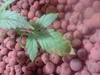 Feuilles-de-cannabis-infectées-par-les-Fusarioses