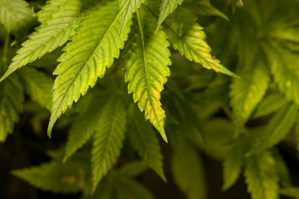 Feuilles-de-cannabis-jaunes