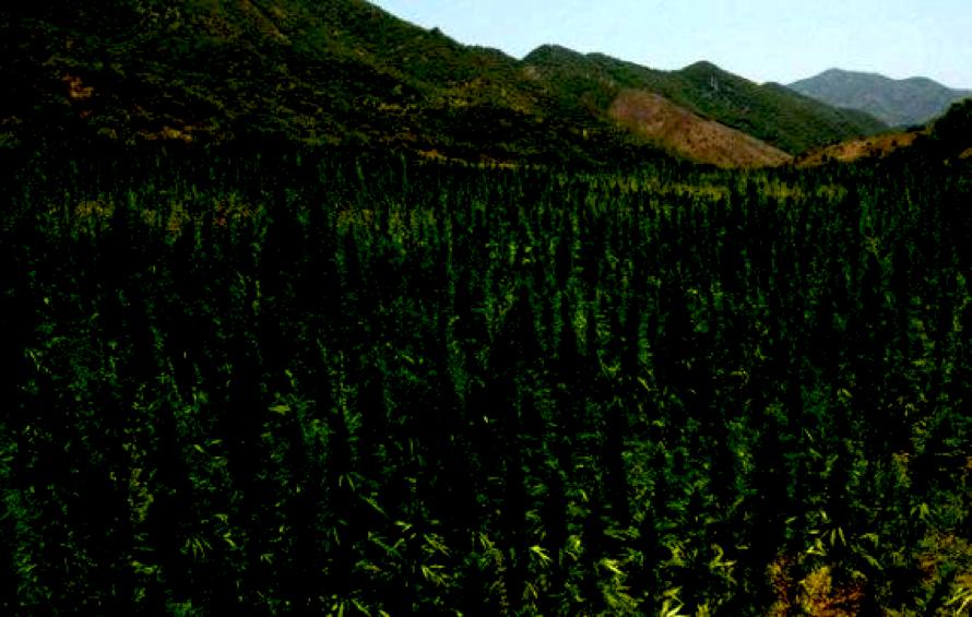 culture de cannabis en extérieur champs-de-chanvre