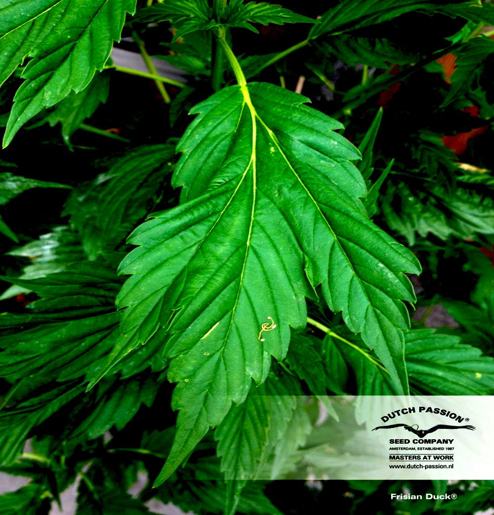 culture de cannabis en extérieur frisian-dew-leaf