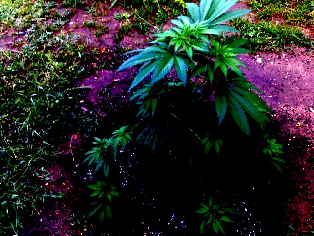 culture de cannabis en extérieur jeune-plant-transplante