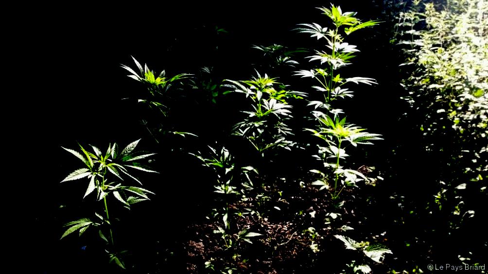 culture de cannabis en extérieur jeunes-plants