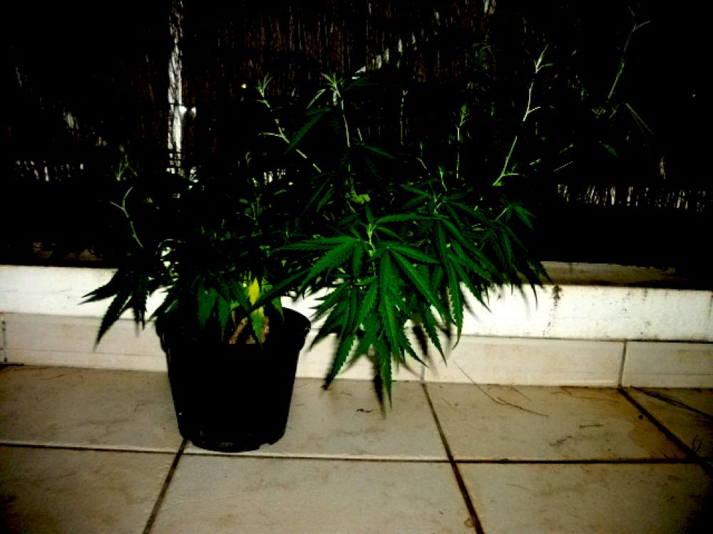 culture de cannabis en extérieur palissage-balcon