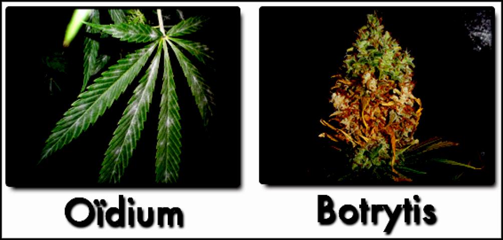 culture de cannabis en extérieur pb-fongique
