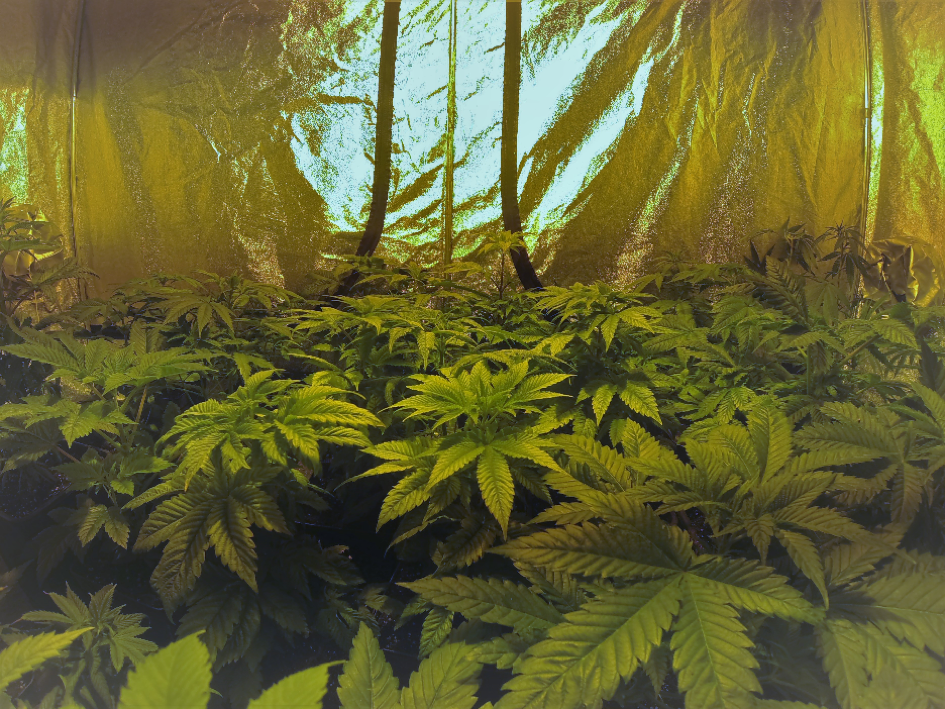 Documentaire culture cannabis interieur 28 images the for Cultiver le cannabis en interieur