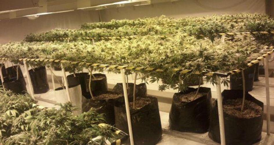 Culture cannabis interieur en terre for Cannabis plantation interieur