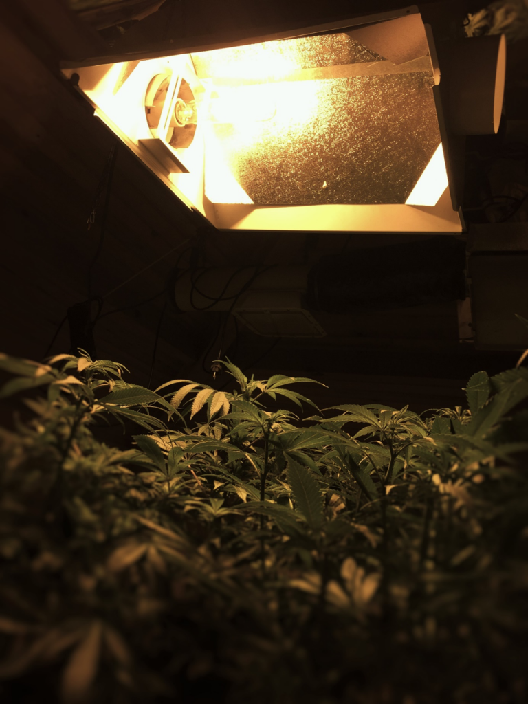 culture-de-cannabis-en-interieur-reflecteur-ventile-sur-kit-HPS