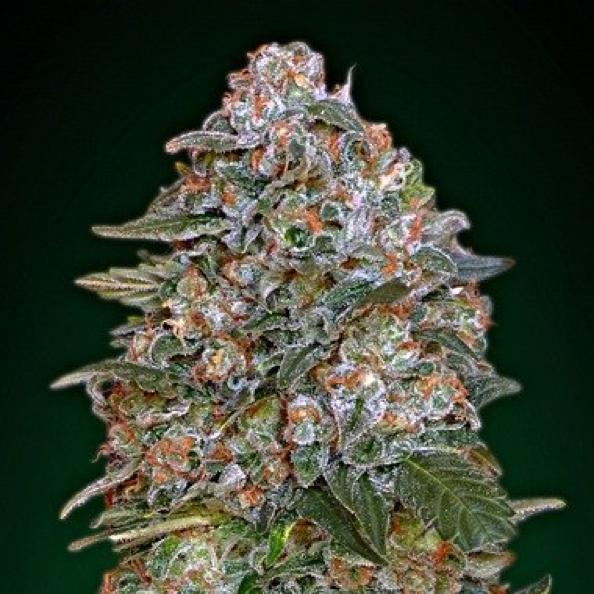 pourquoi-cultiver-des-graines-de-cannabis-auto-floraison-critical-soma